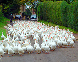 Richard Botterill's geese walk through the village daily