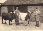 Bill Jones & Bert White with Dairy Shorthorns c.1950s