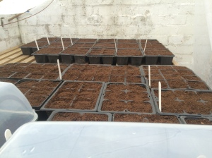 2016-02-08, Seed started - Broad beans, tomatoes, cauliflower & more