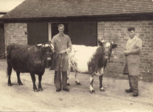 Bill Jones & Bert White with Dairy Shorthorns , 1950s