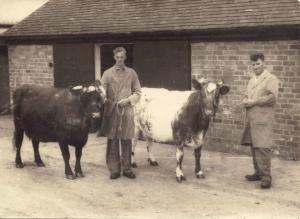 Bill Jones & Bert White with Dairy Shorthorns , 1950s