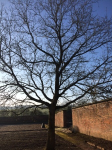 2016-02-22, self seeded oak tree in AWG