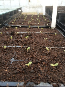 2016-02-27, AWG First of many lettuce