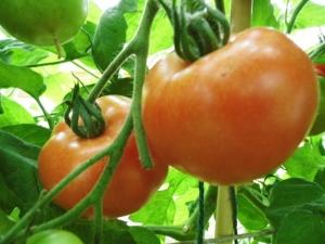 2015-19-08, Tomato Orkado