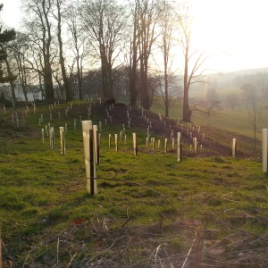 Beech tree planting on Long Hill