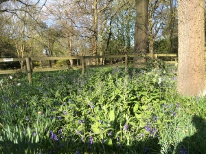 2016-04-13, Holland Park bluebells