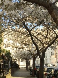 2016-04-13, White cherry blossom 2