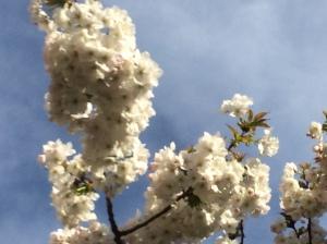 2016-04-13, White cherry blossom