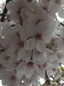 2016-04-15, White cherry blossom