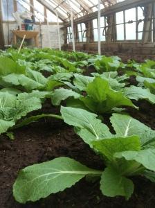 2016-04-21, Oriental cabbage