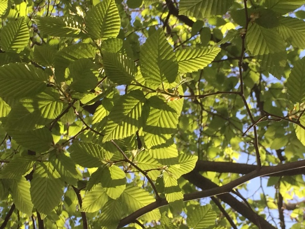 2016-04-24, New leaves lime green