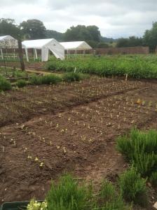 2016-06-21, Marigolds, carrots, celeriac, shallots & radish