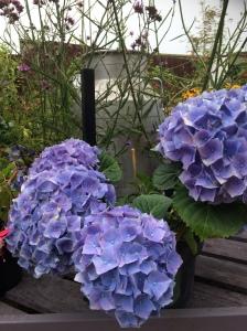 2016-08-25, Apley Plant Centre blue hydrangeas