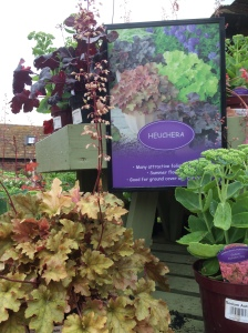 2016-08-25, Apley Plant Centre heuchera display (2)