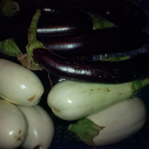 Apley Walled Garden aubergines