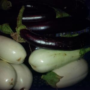Apley Walled Garden aubergines