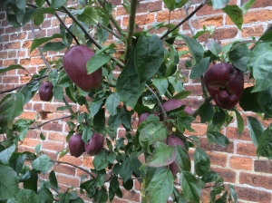 Plum opal apples in Apley Walled Garden