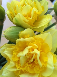 2016-03-17-daffodils-2