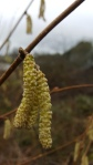 2017-02-07-awg-progress-hazel-catkins