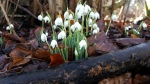 2017-02-07-awg-progress-snowdrops