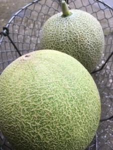 Apley Walled Garden melons