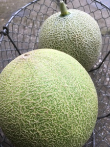 Apley Walled Garden melons